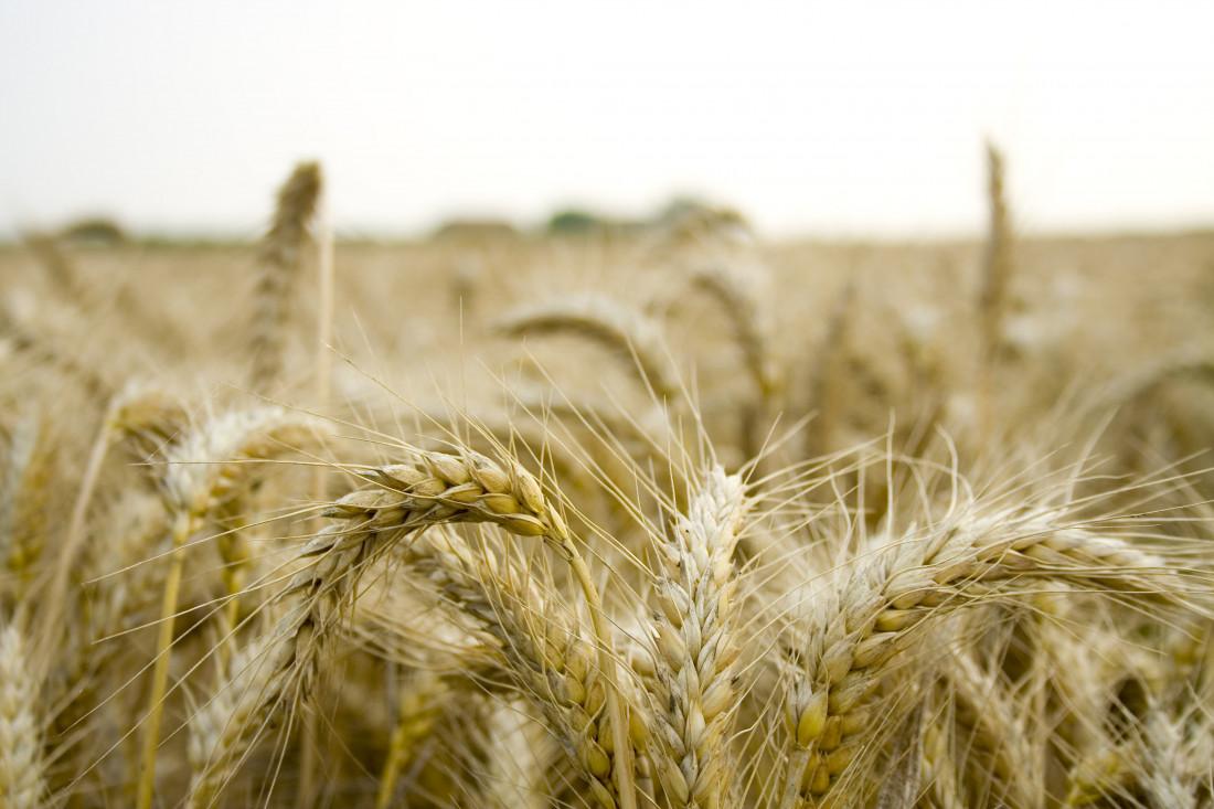 wheat-field-1177791